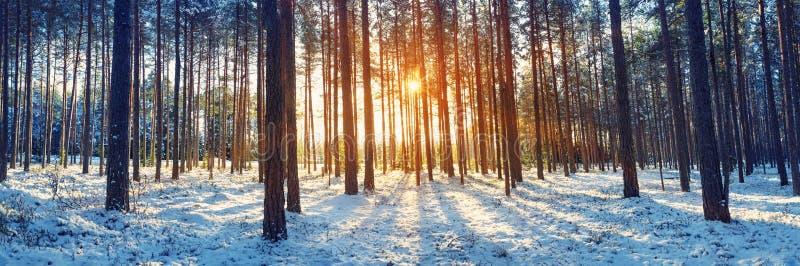 śnieżni objętych sosnowi drzewa fotografia royalty free