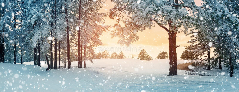 śnieżni objętych sosnowi drzewa obraz royalty free