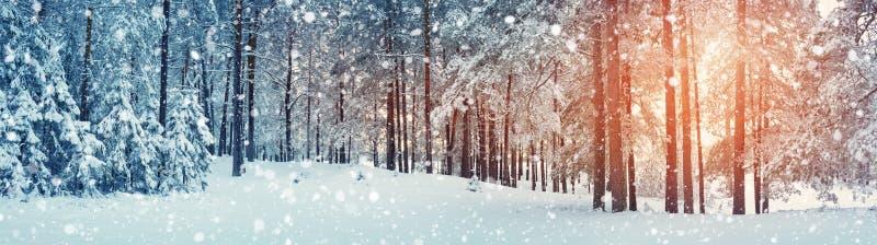 śnieżni objętych sosnowi drzewa obrazy stock