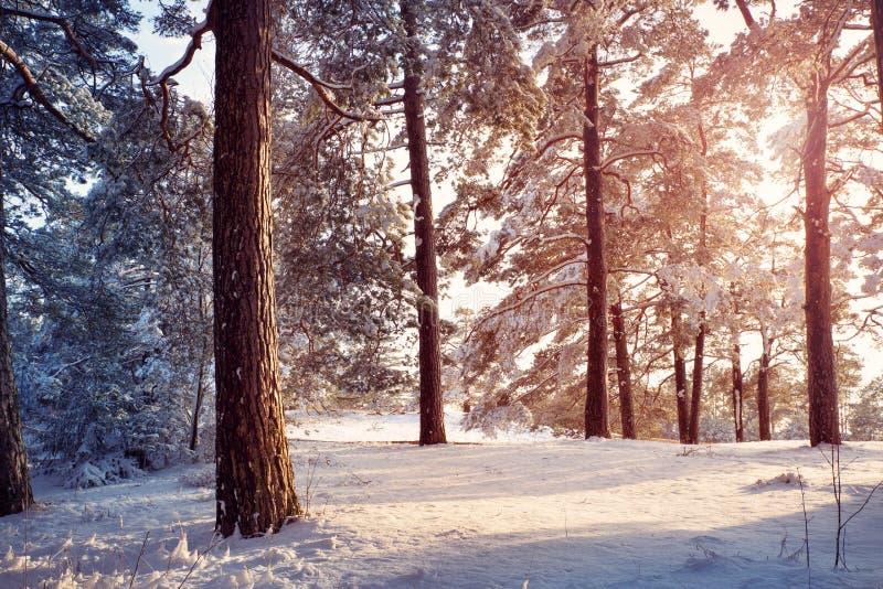 śnieżni objętych sosnowi drzewa fotografia stock