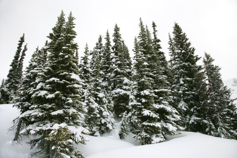 śnieżni objętych sosnowi drzewa zdjęcie royalty free