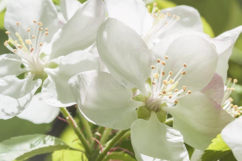 Śnieżnobiali malowniczy kwiaty jabłko, czereśniowy zakończenie na pogodnym wiosna dniu Gałąź Sakura, kwitnąca owocowa wiosna fotografia stock