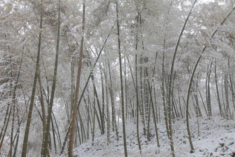 Śnieżny bambus zdjęcie stock