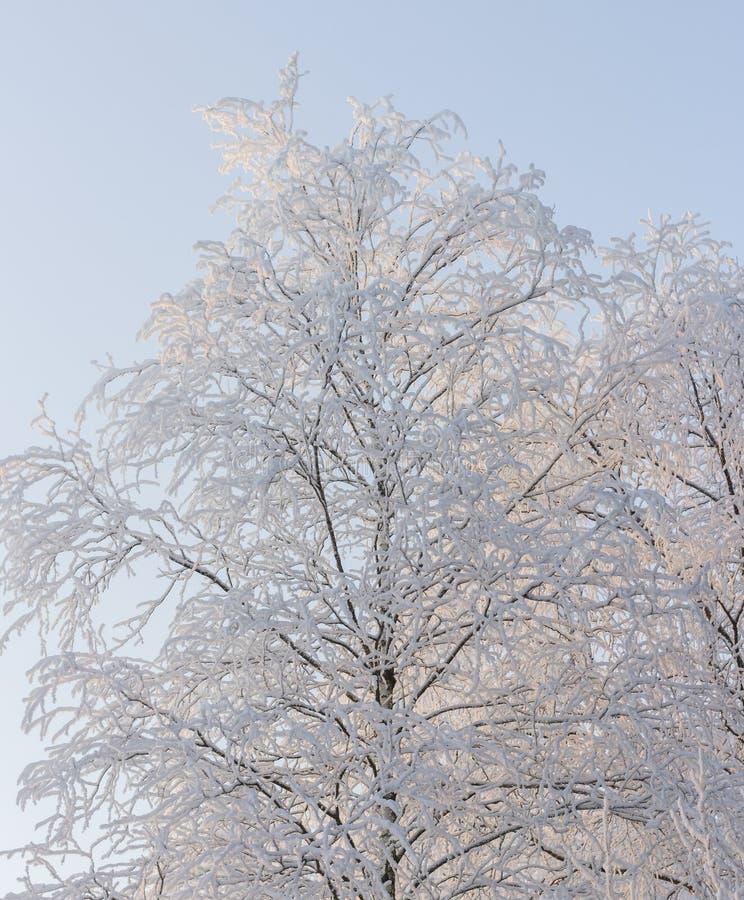 Śnieżny brzozy drzewa bławy niebo zdjęcia stock
