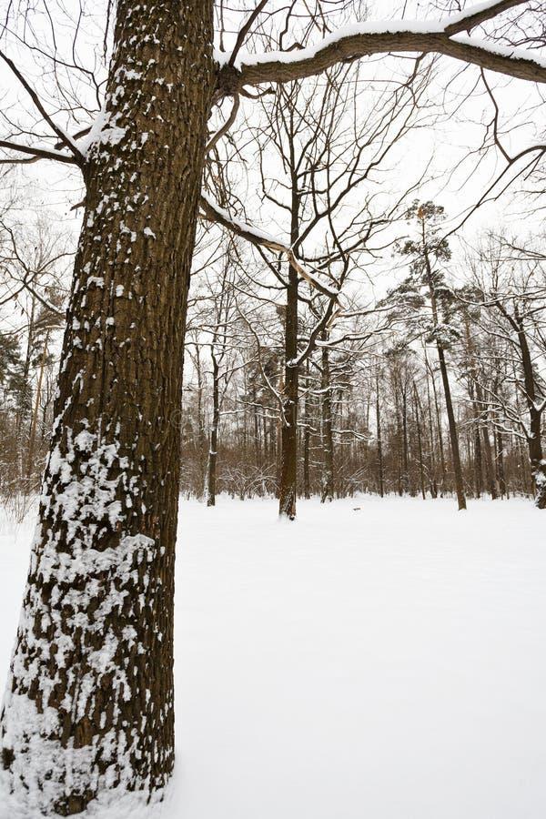 Śnieżny dębowy drzewo na krawędzi lasu obraz royalty free
