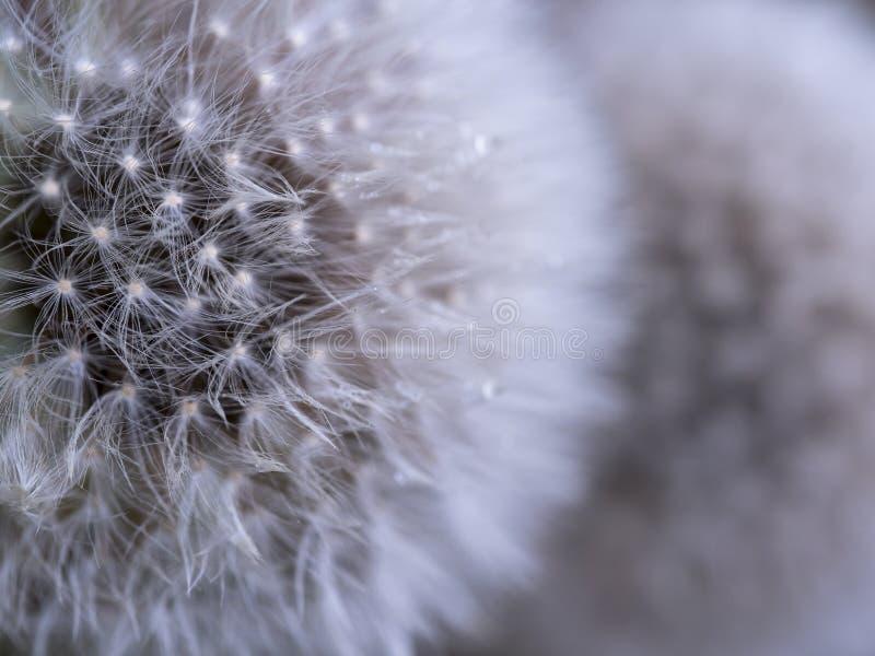 Śnieżny Dandelion obrazy royalty free