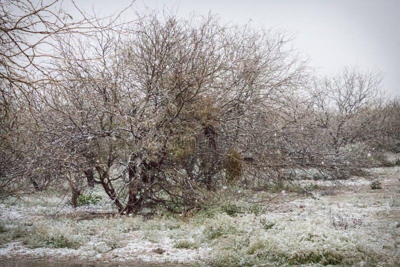 Śnieżny dzień w parku z mesquite drzewami w Arizona obraz royalty free