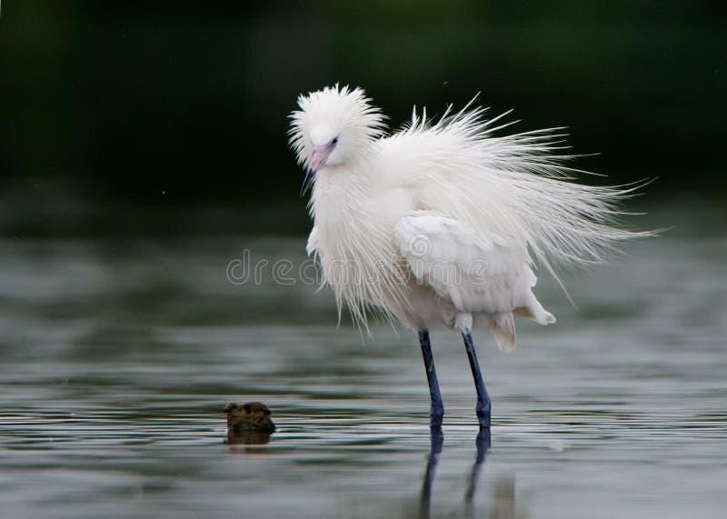 Śnieżny egret (Egretta thula) obraz royalty free