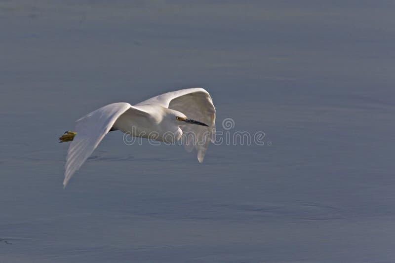 Śnieżny Egret, Egretta thula, lata zdjęcie stock