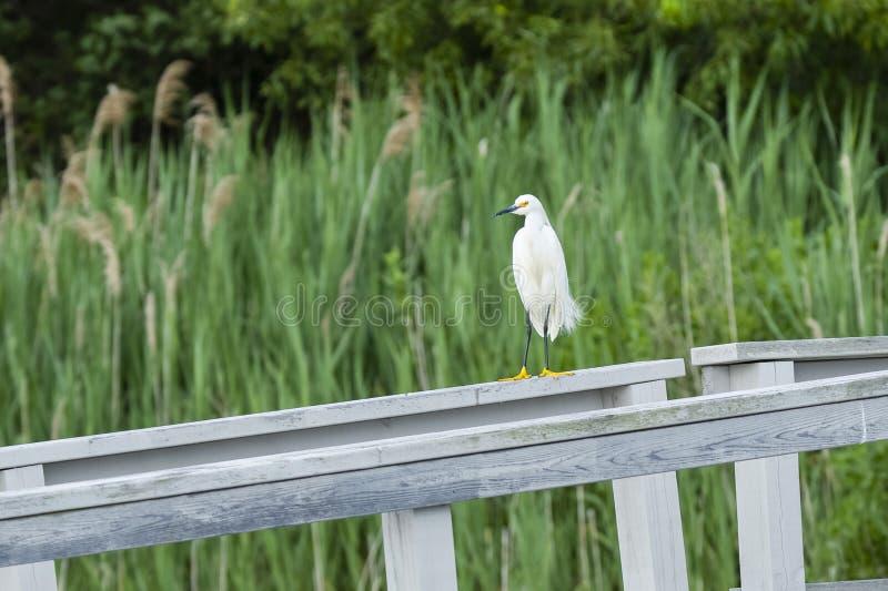 Śnieżny Egret na ogrodzeniu obraz stock