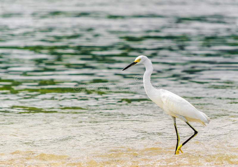 Śnieżny Egret parkowym krajowym tayrona w Kolumbia obrazy royalty free