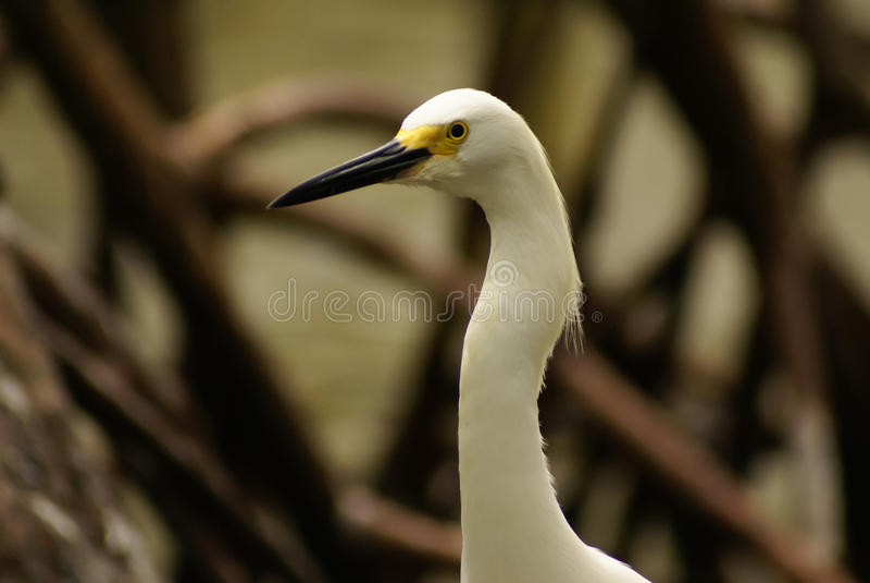 Śnieżny Egret, Rosario archipelag, Cartagena De Indias, Kolumbia, Ameryka Południowa (Egretta thula) obrazy royalty free
