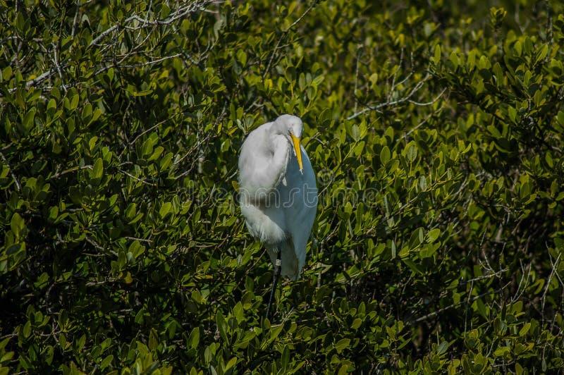 Śnieżny Egret Wśród Greenery zdjęcia royalty free
