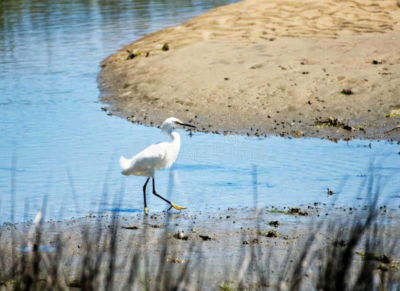 Śnieżny egret w bagnie zdjęcie stock