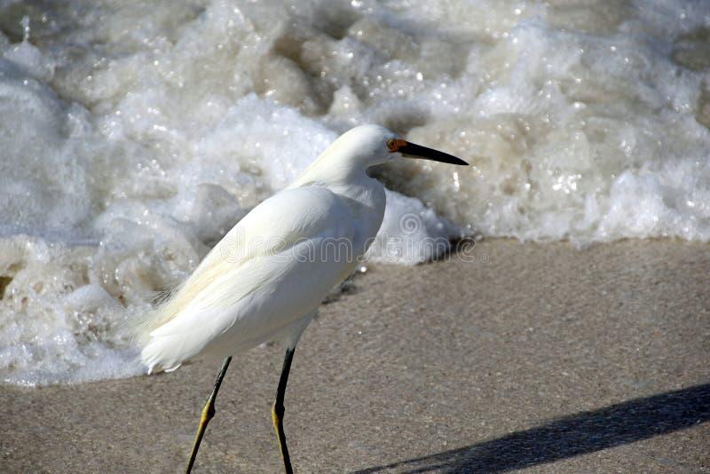 Śnieżny Egret w kipieli zdjęcie royalty free