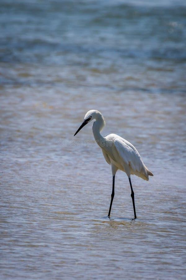 Śnieżny Egret w Wodnym Portowym Aransas Teksas zdjęcie royalty free