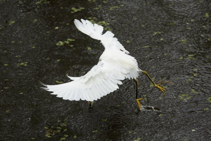 Śnieżny egret zatrzymuje nagle łapać ryba, Floryda ` s evergla obraz royalty free