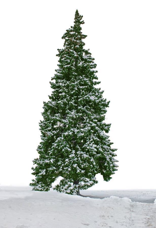 Śnieżny jedlinowy drzewo zdjęcie stock