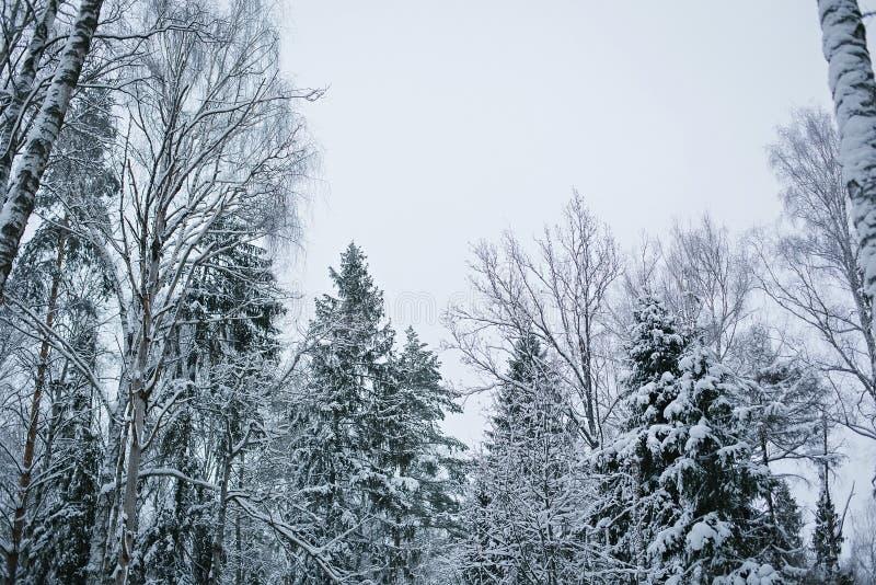 Śnieżny las na tle niebo obrazy royalty free