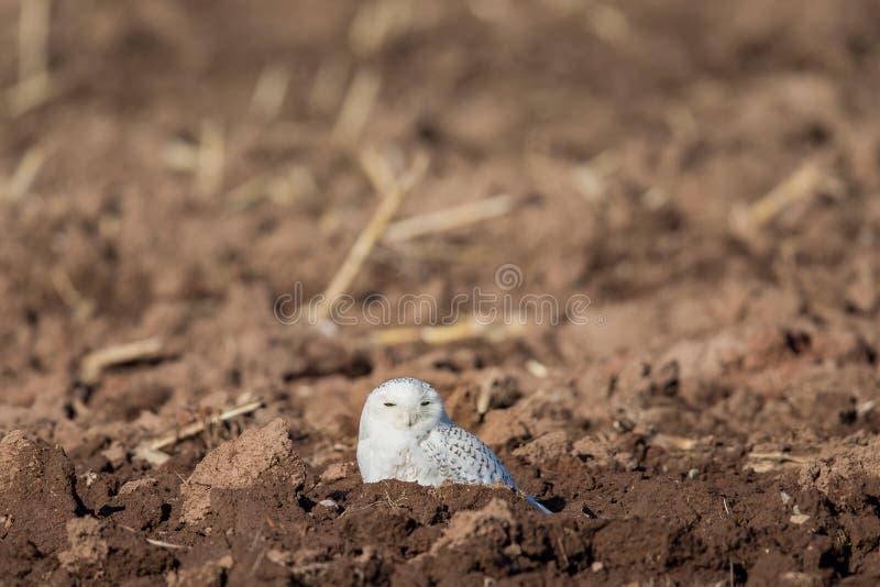 Śnieżny sowy obsiadanie w Rolnym polu zdjęcie stock