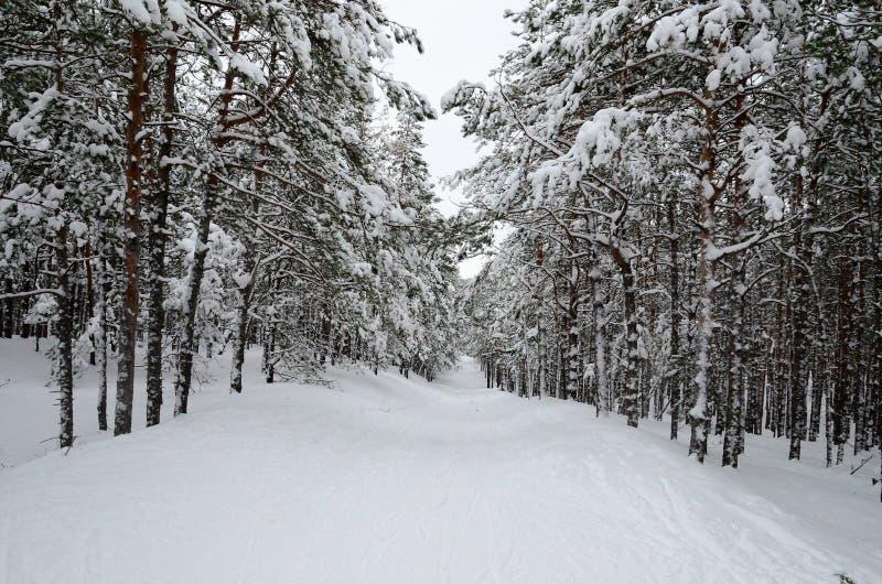 Śnieżny spadek w zimie w sosnowym lesie w popołudniu zdjęcia stock