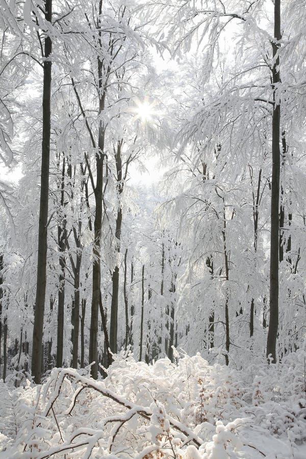 Śnieżny zima las zaświecał ranku słońcem zdjęcia royalty free