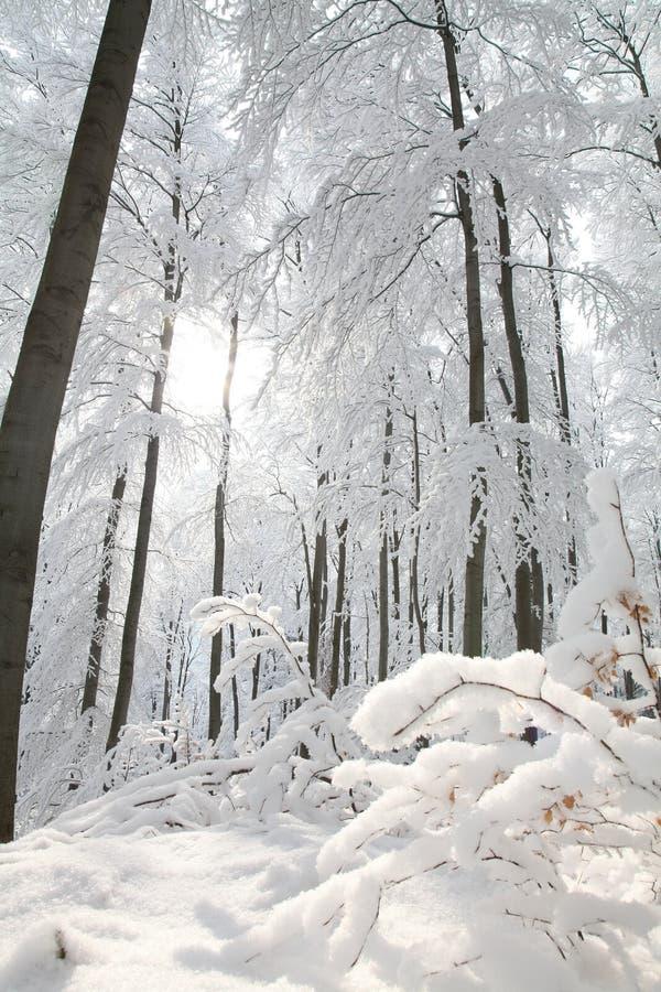 Śnieżny zima las zaświecał ranku słońcem zdjęcie stock