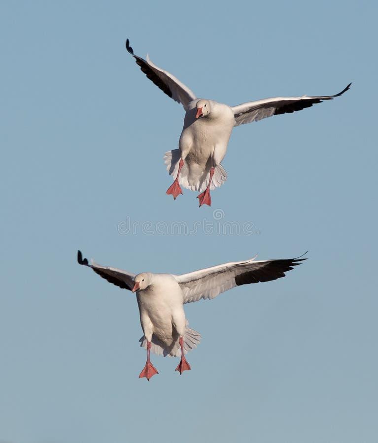Śnieżnych gąsek lądować zdjęcia stock