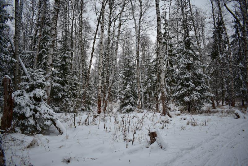 Śnieżyści drzewa, biały śnieżny śnieżny śnieg dryfują guślarki zimę, zimy nakreślenie, śnieżna fantazja zdjęcia royalty free