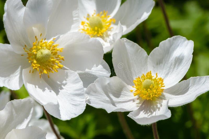 Śnieżyczka anemonu okwitnięcie - wielki biały kwiat z żółtym stamen obrazy stock