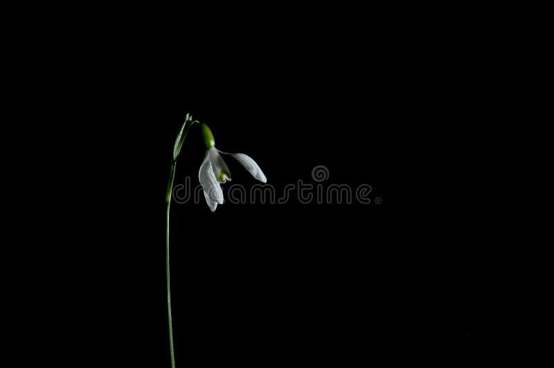 Śnieżyczka kwiat na czarnym tle zdjęcia royalty free
