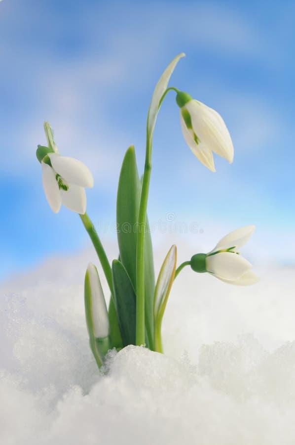 śnieżyczki zdjęcia stock
