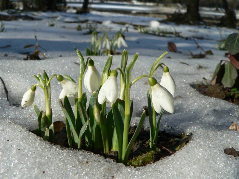 śnieżyczki zdjęcie royalty free