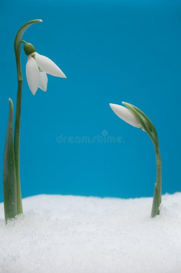 śnieżyczki dwa fotografia royalty free
