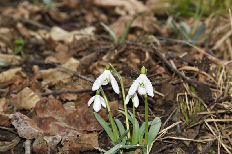 Śnieżyczki (Galanthus nivalis) w floodplain lesie fotografia royalty free