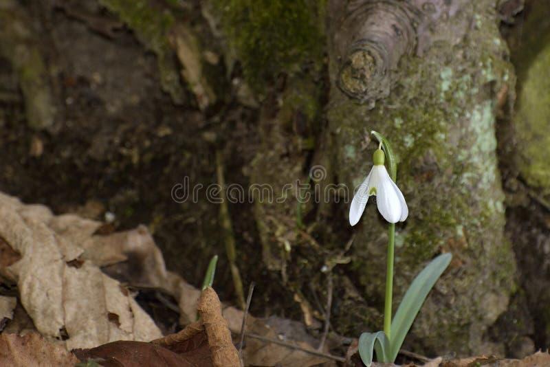 Śnieżyczki (Galanthus nivalis) w lesie fotografia stock