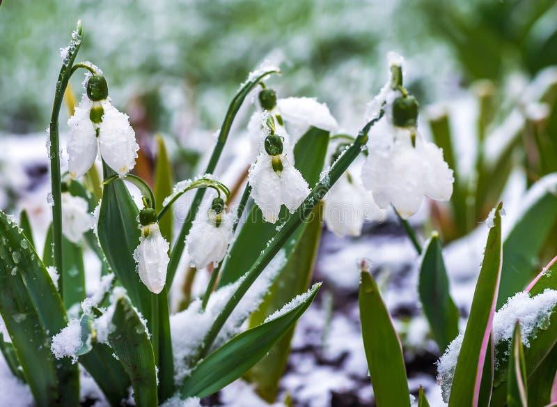Śnieżyczki i krokus obraz royalty free