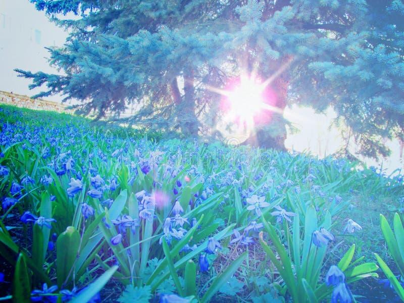 Śnieżyczki na gazonie w promieniach jaskrawy wiosny słońce fotografia stock