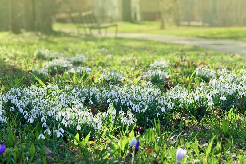 Śnieżyczki na polu zdjęcie royalty free