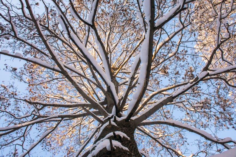 Śnieżysta lodowata korona stary klon, iluminująca promieniami zimy słońce przeciw jaskrawemu niebieskiemu niebu zdjęcie royalty free