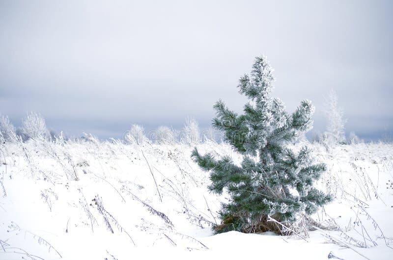 Śnieżysta mała sosna w polu w wiatrze obrazy royalty free