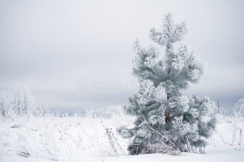 Śnieżysta mała sosna w polu w wiatrze fotografia royalty free