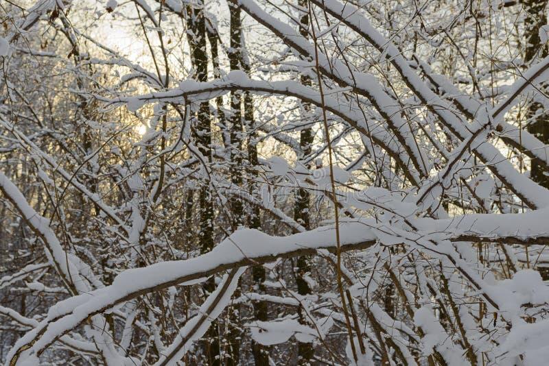 Śnieżyste gałąź w gęstym zima lesie obraz royalty free