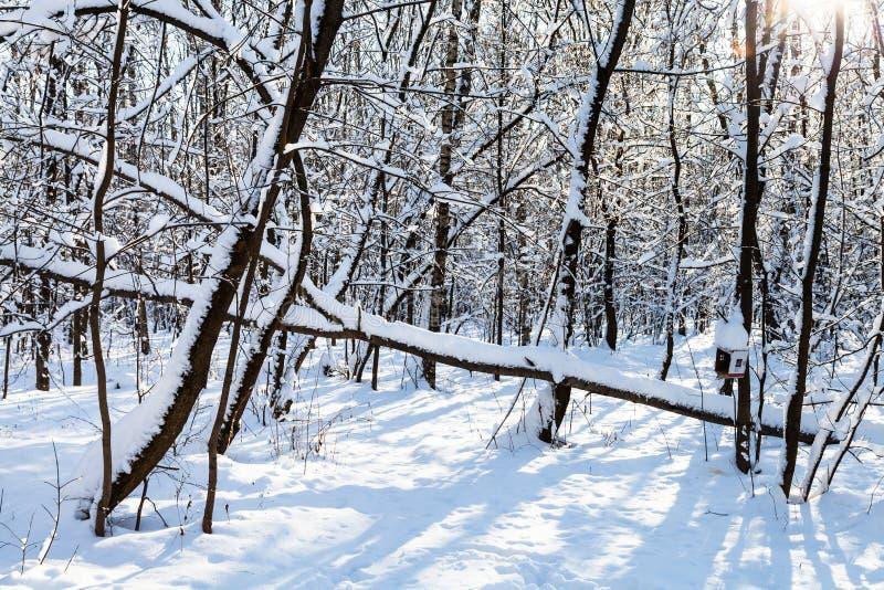 śnieżysty łamający drzewo w pierwszych planach w słonecznym dniu obraz stock