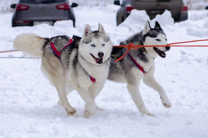 Śniegów psy zdjęcie royalty free