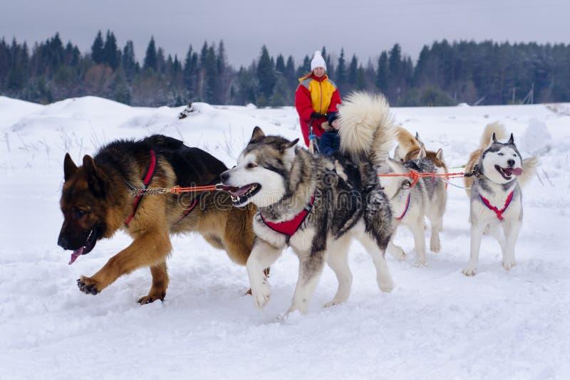 Śniegów psy zdjęcia stock