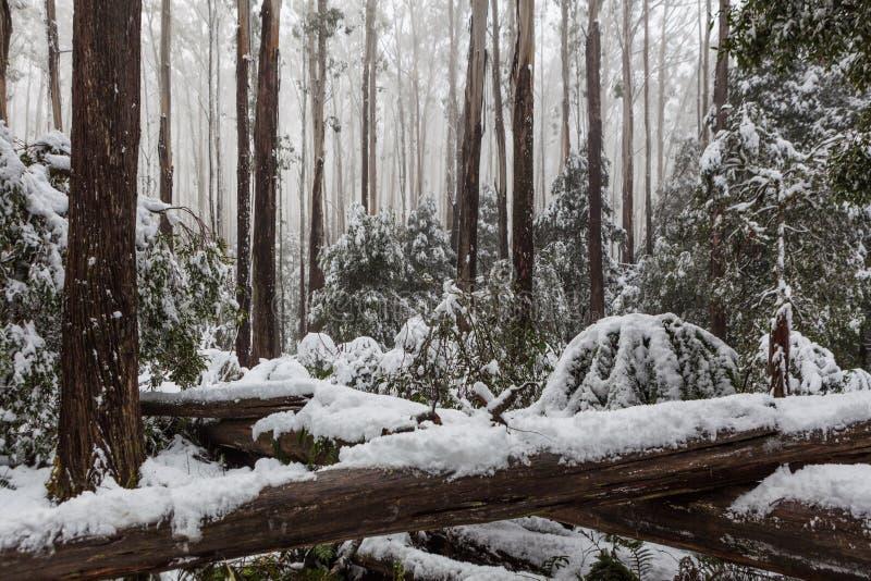 Śnieg kłaść na spadać paprociach w Australijskim eukaliptusie f i drzewach fotografia stock