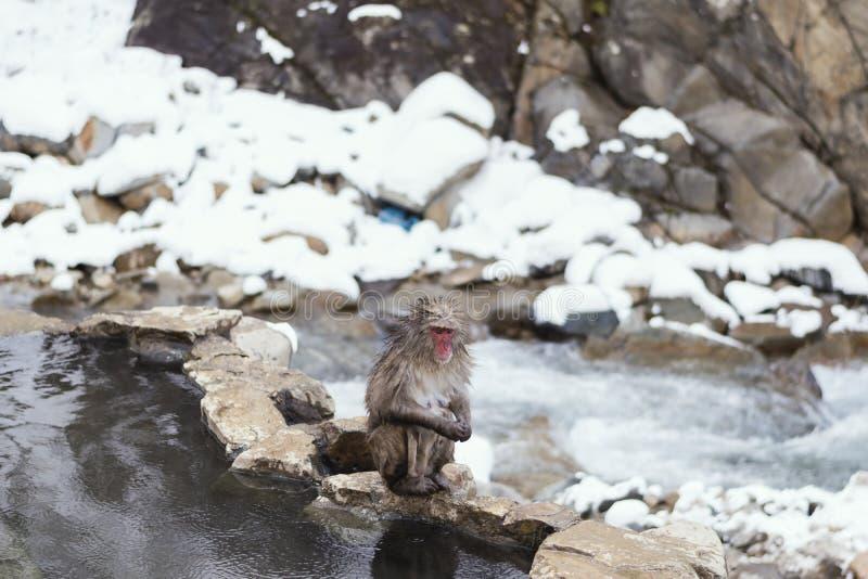 Śnieg małpa obrazy stock