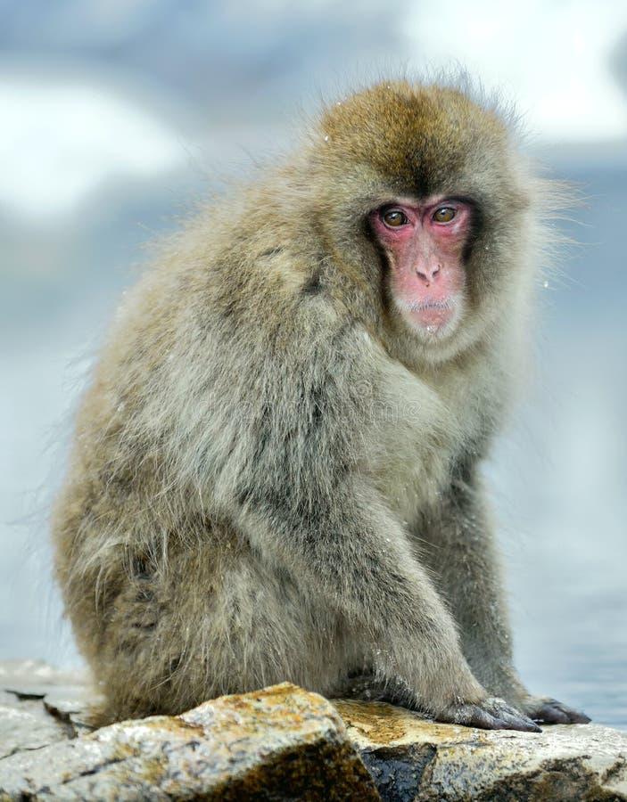 Śnieg małpa godziny krajobrazu sezonu zimę Japoński makak także znać jako śnieżna małpa NZ obrazy stock
