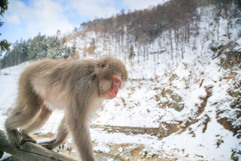 Śnieg małpa, Japonia obrazy royalty free
